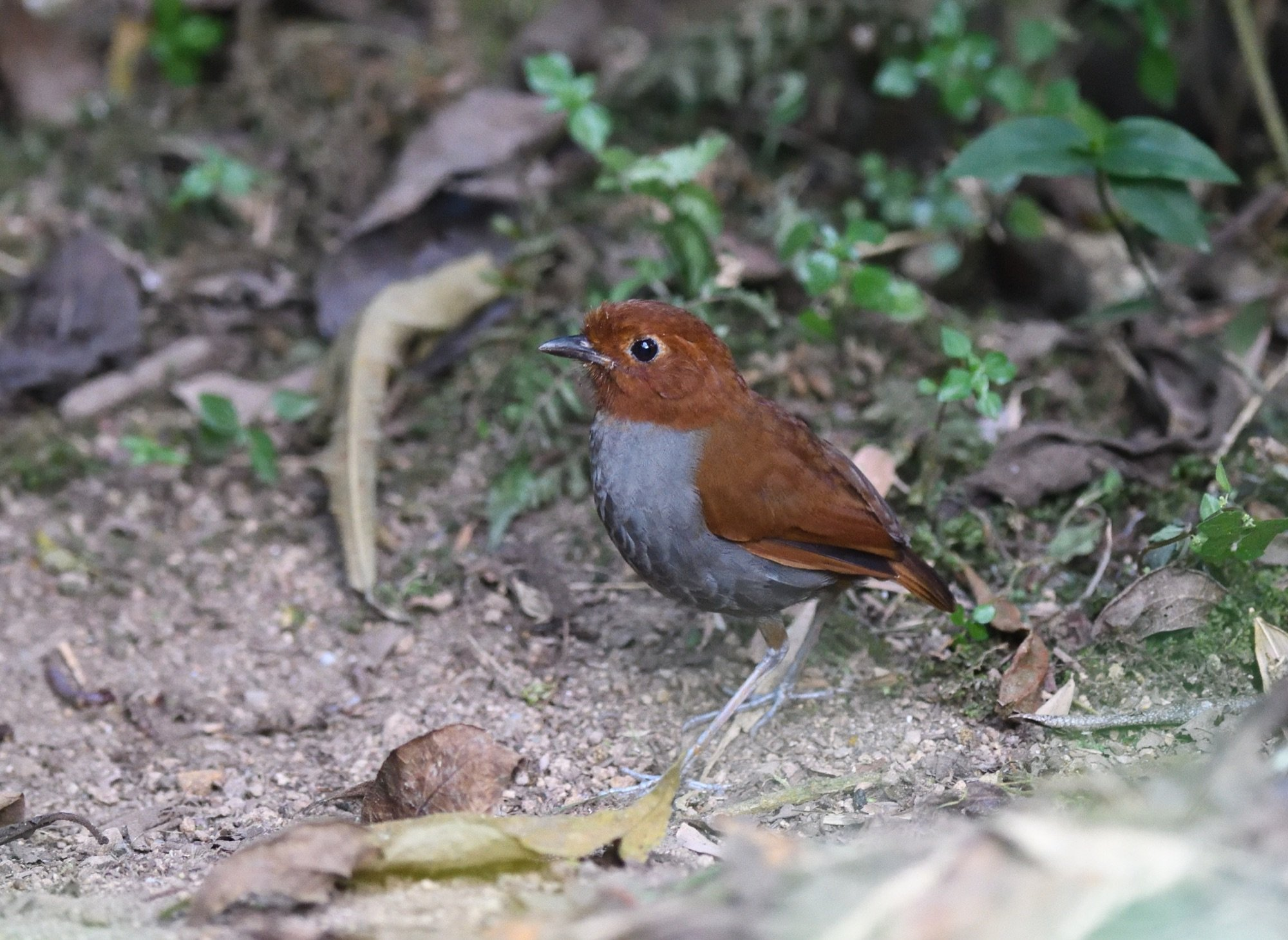 Bicoloured Antpitta