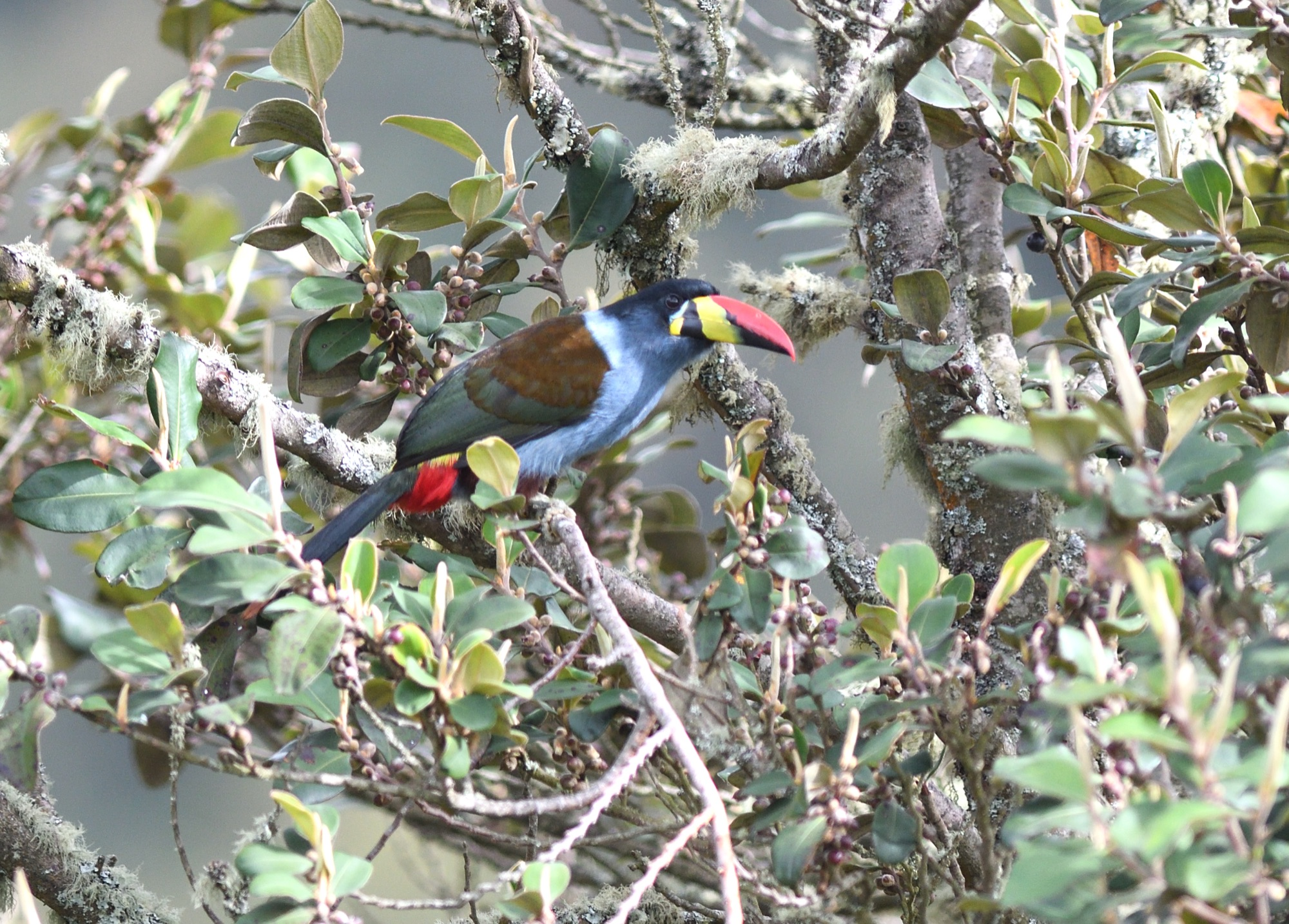 Grey-breasted Mountain-Toucan