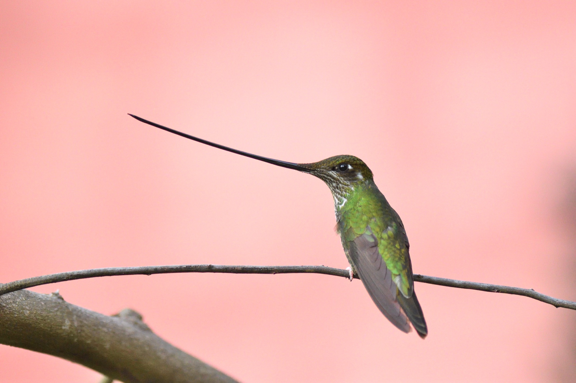 Sword-billed Hummingbird - Observatorio des Colibries, Colomba 2019_00065