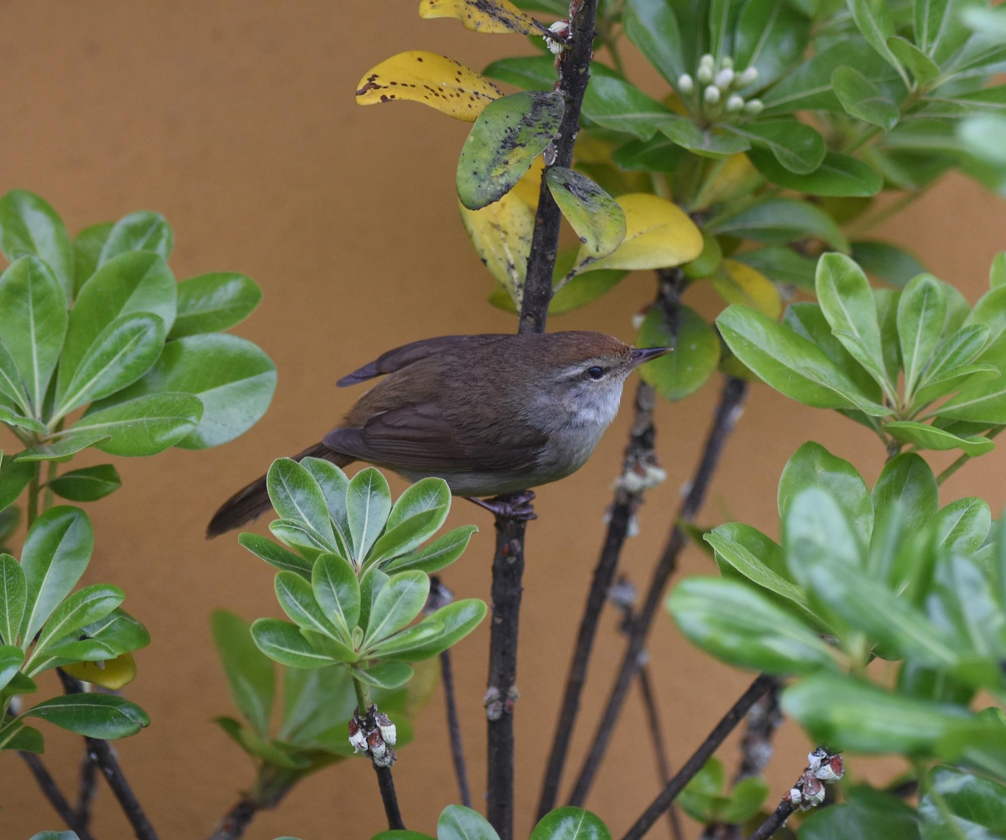 manchurian bush warbler