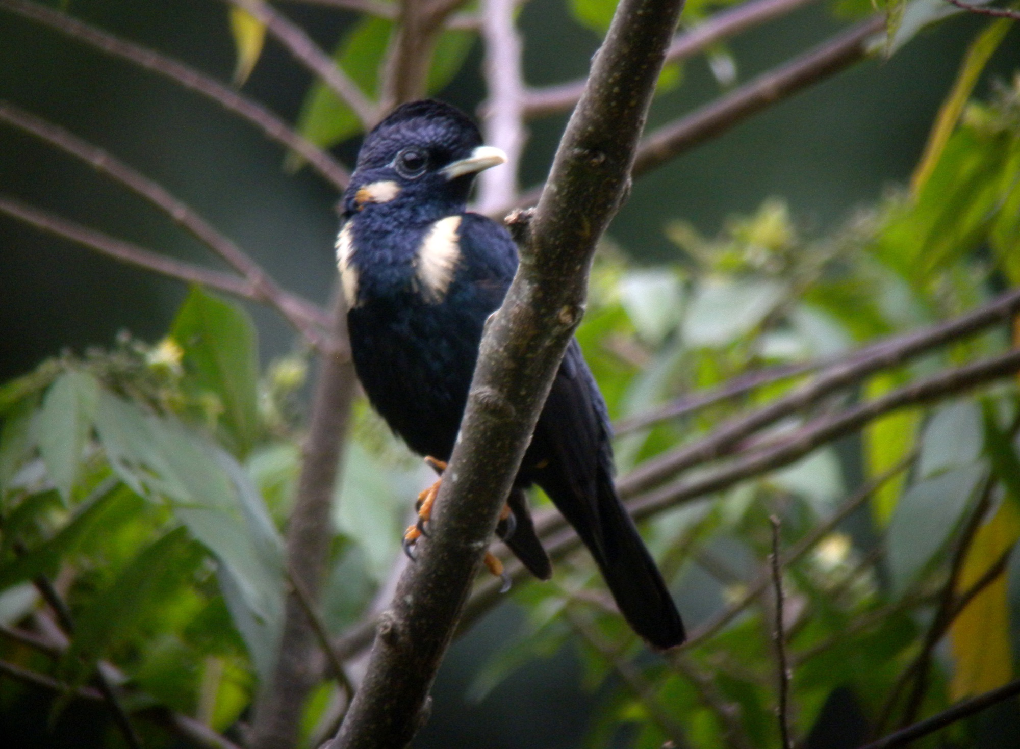 sulawesi crested myna