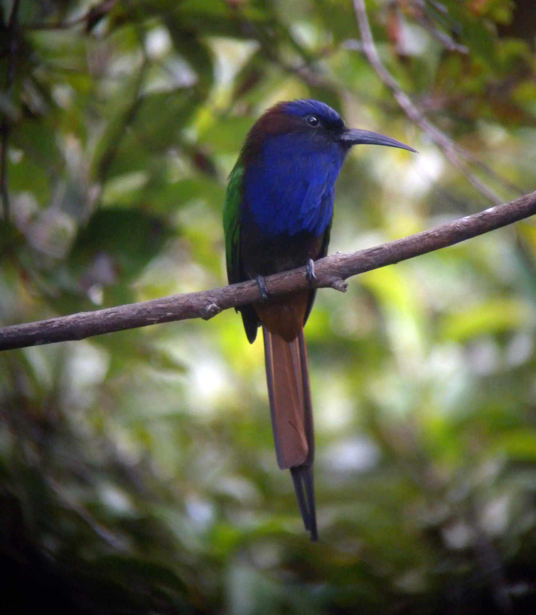 purple-bearded bee-eater