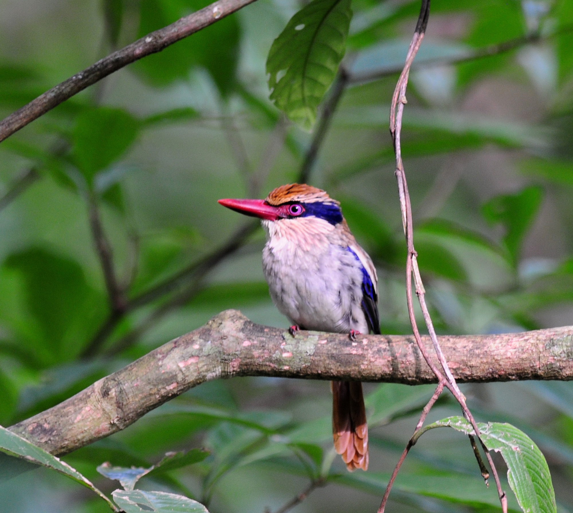 Lilac-cheeked Kingfisher