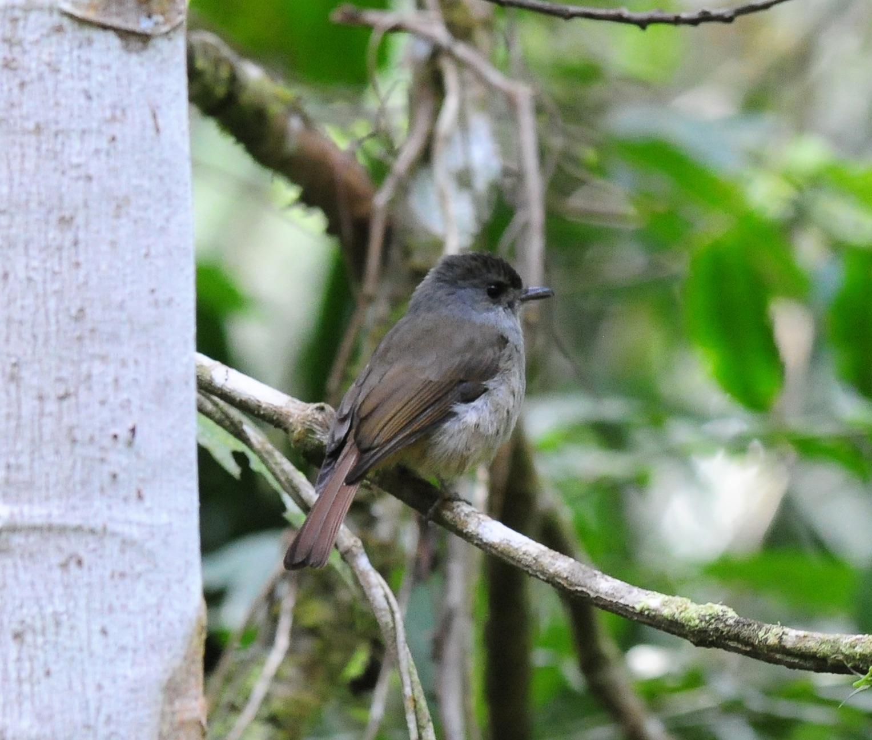 matinan flycatcher