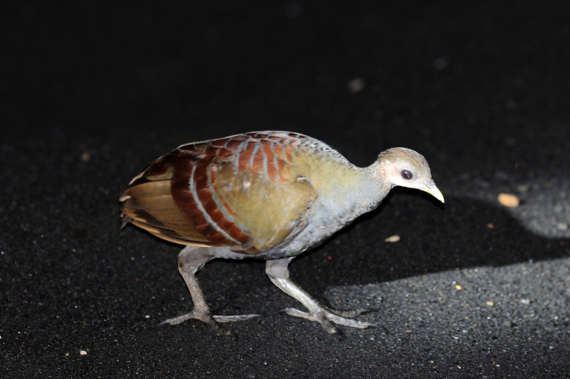 moluccan scrubfowl