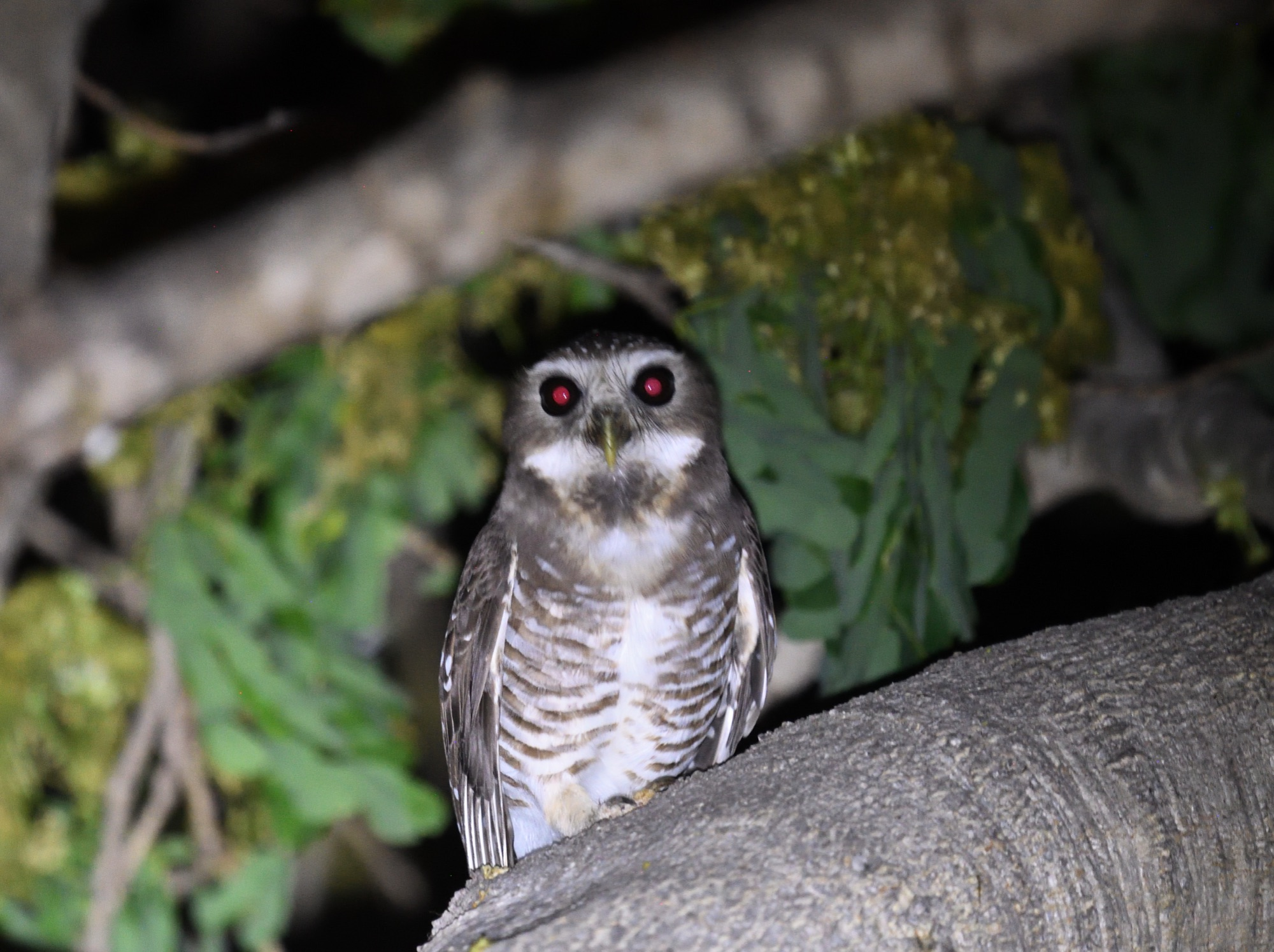 White-bowed Owl - Isalo, Madagascar 2019_00033