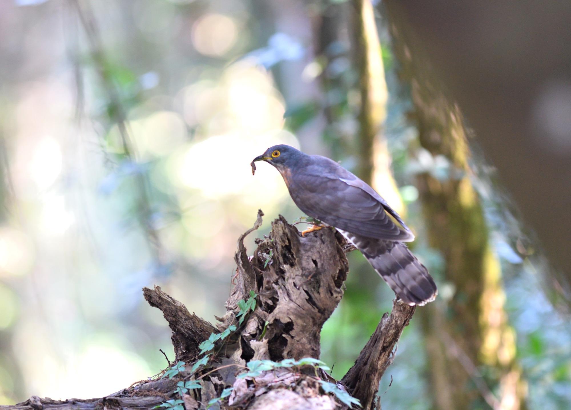 Large Hawk-Cuckoo