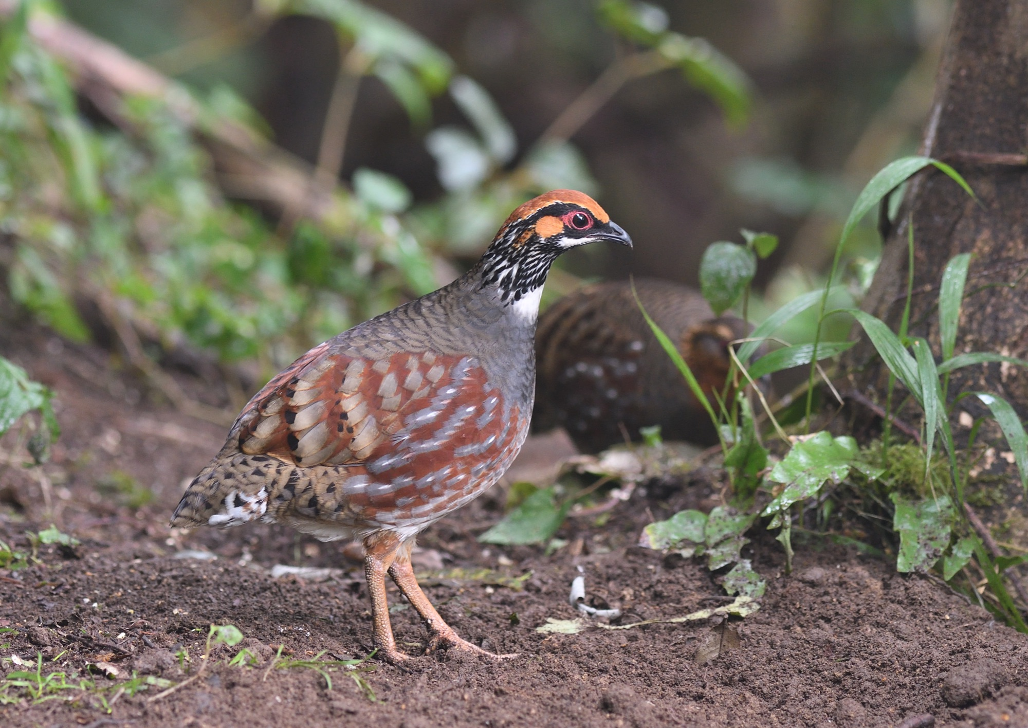 Hill Partridge - Baihualing, Yunnan 2020_00205