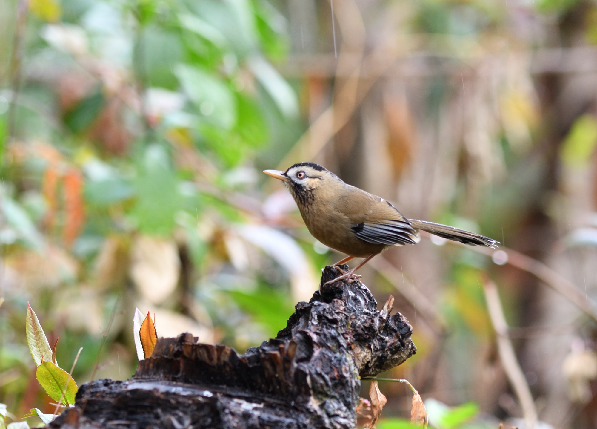 moustached laughinthrush
