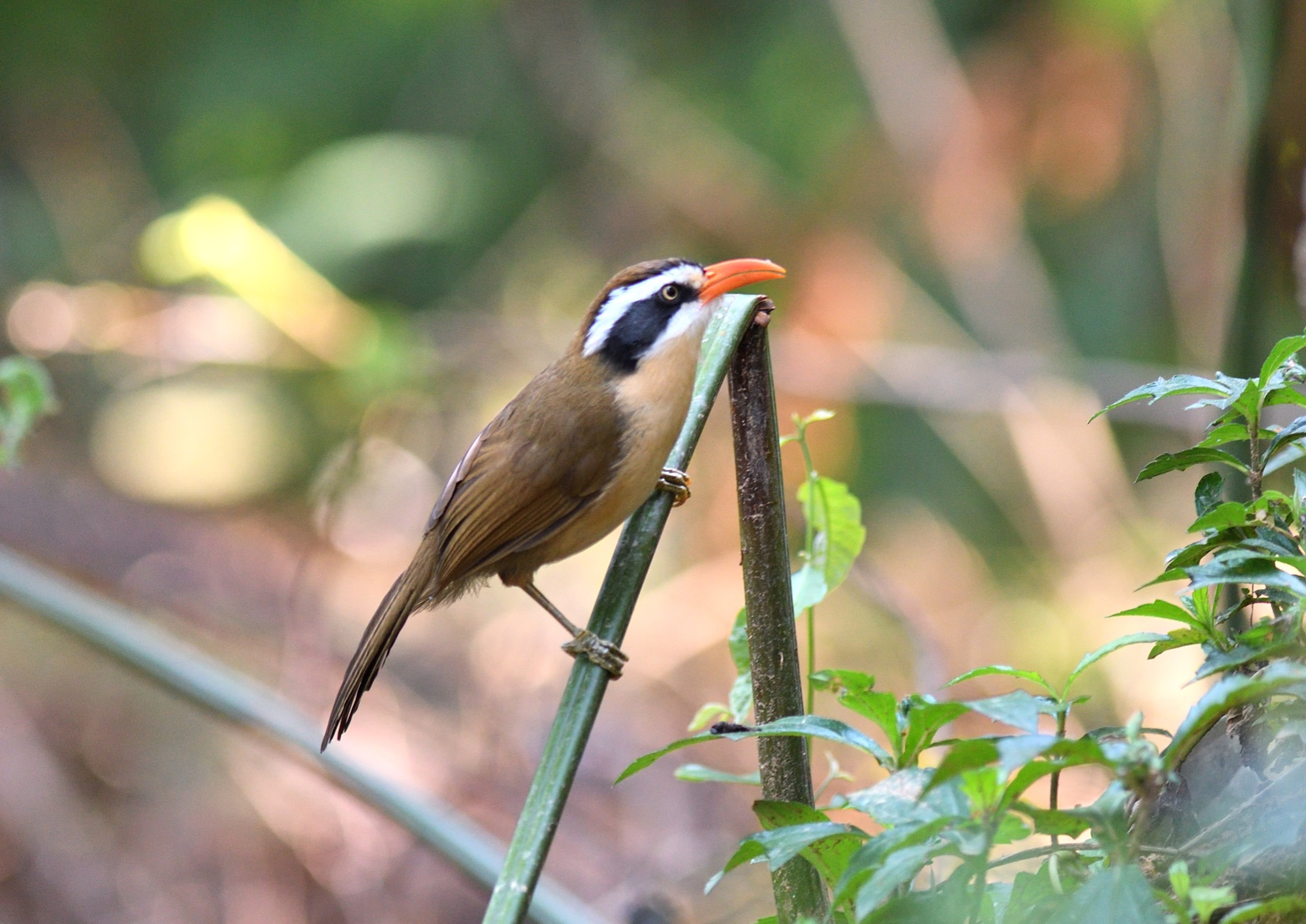 coral-billed scimitar-babbler