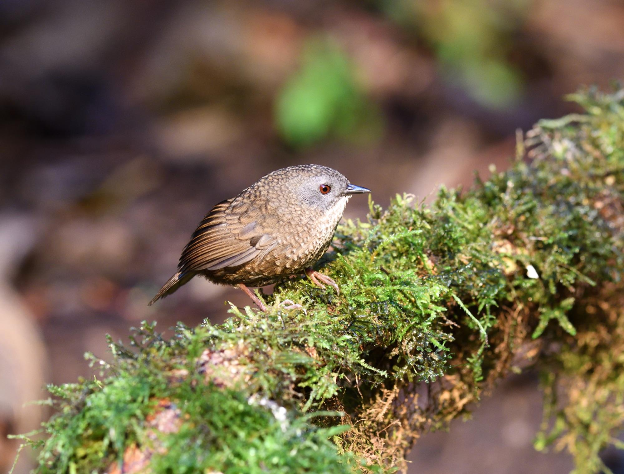Grey-bellied Wren-Babbler