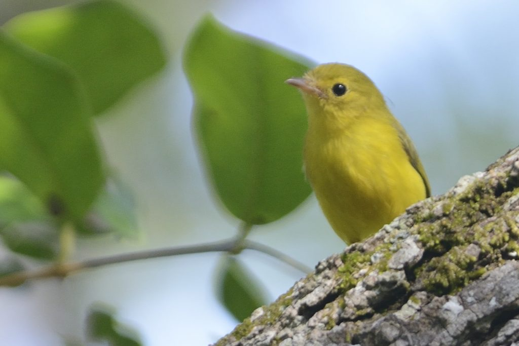 blaclittle yellow flycatcher