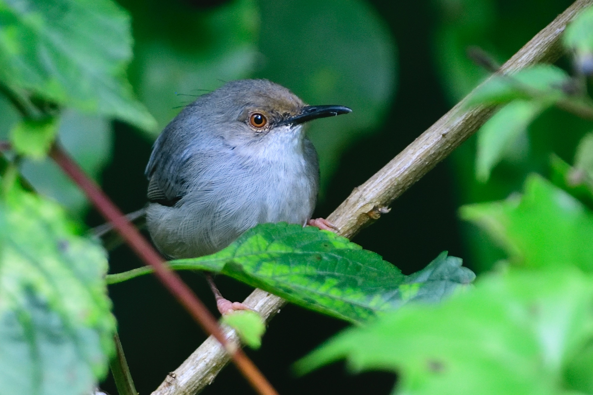 long-billed forest warbler