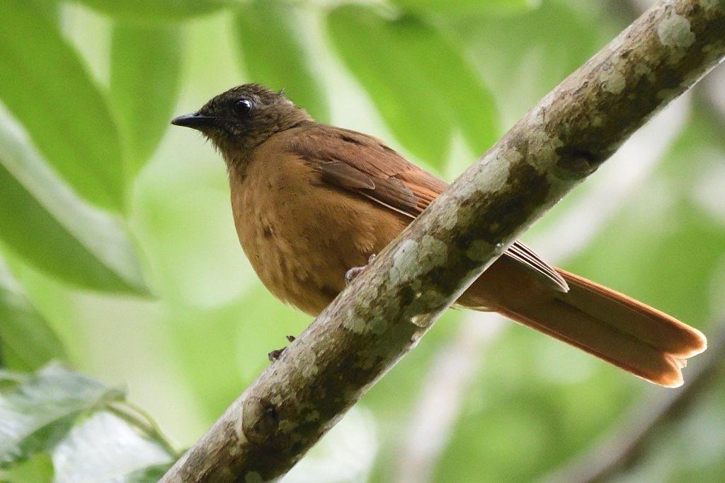 red-tailed rufous-thrush