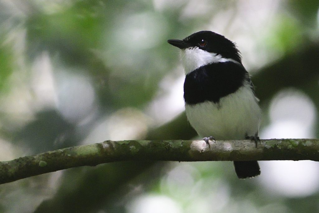 short-tailed batis