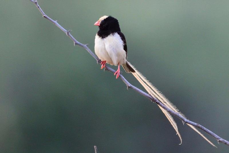 straw-coloured whydah