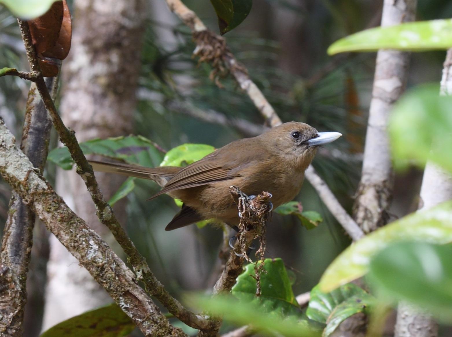 southern shrikebill