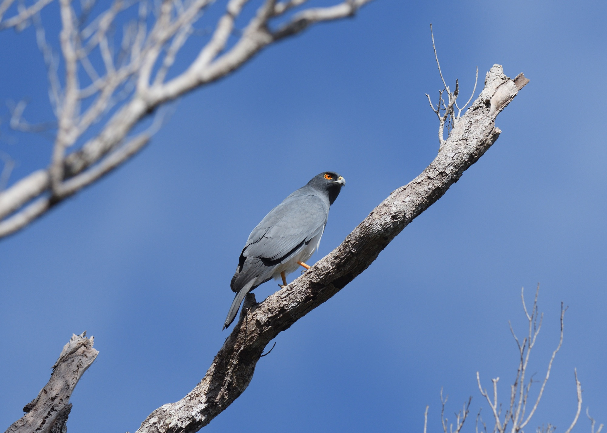 white-bellied goshawk