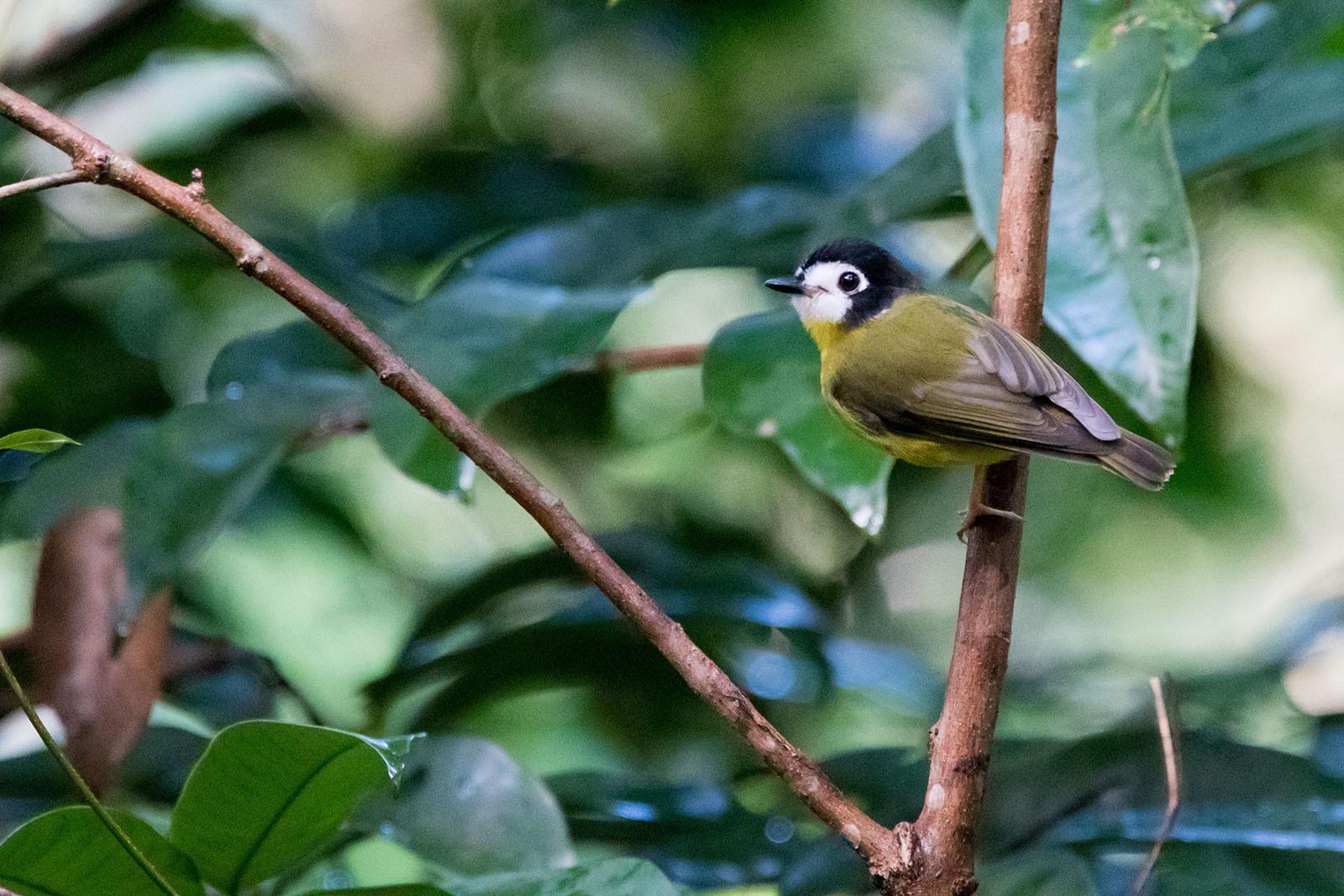 white-faced robin