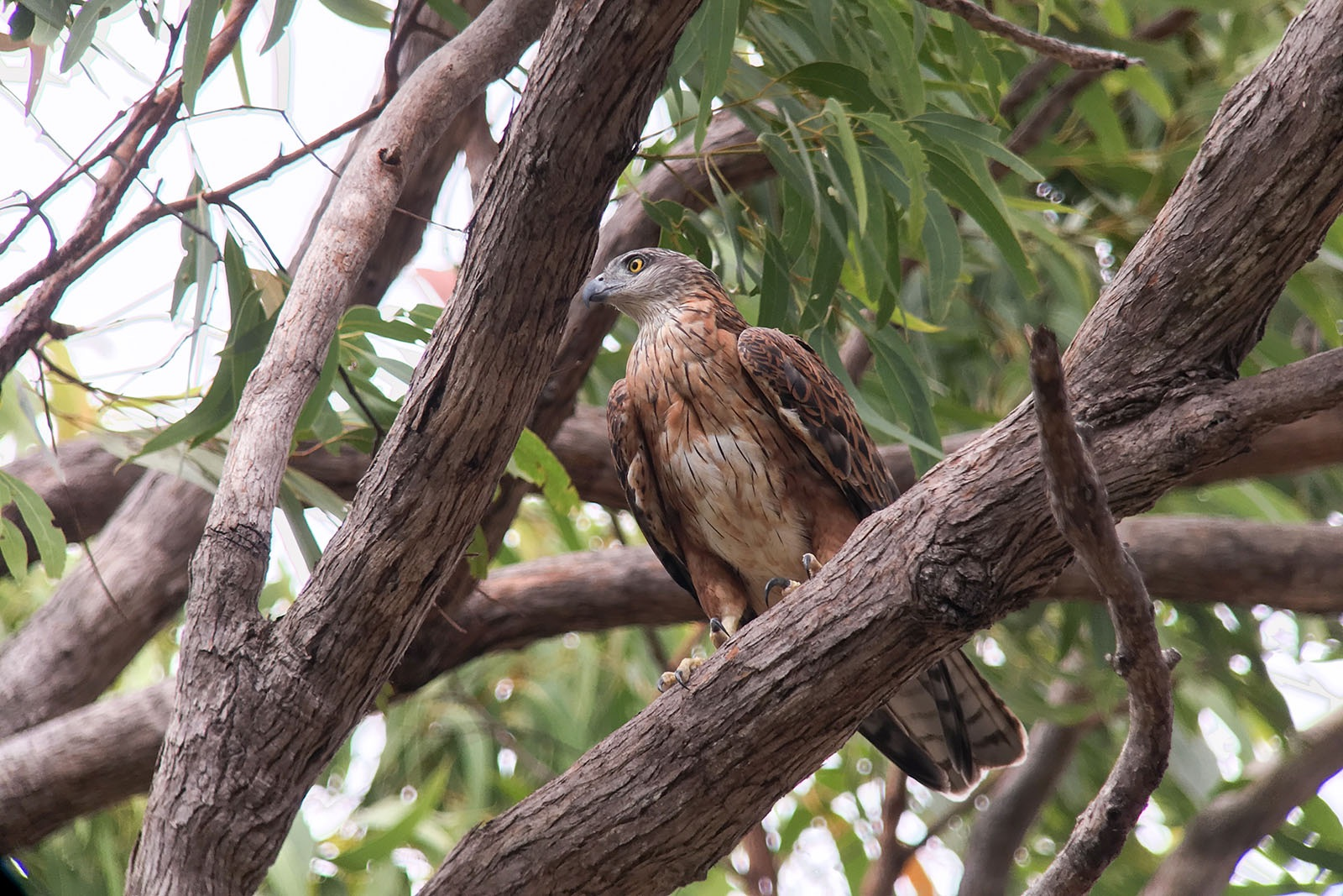 red goshawk