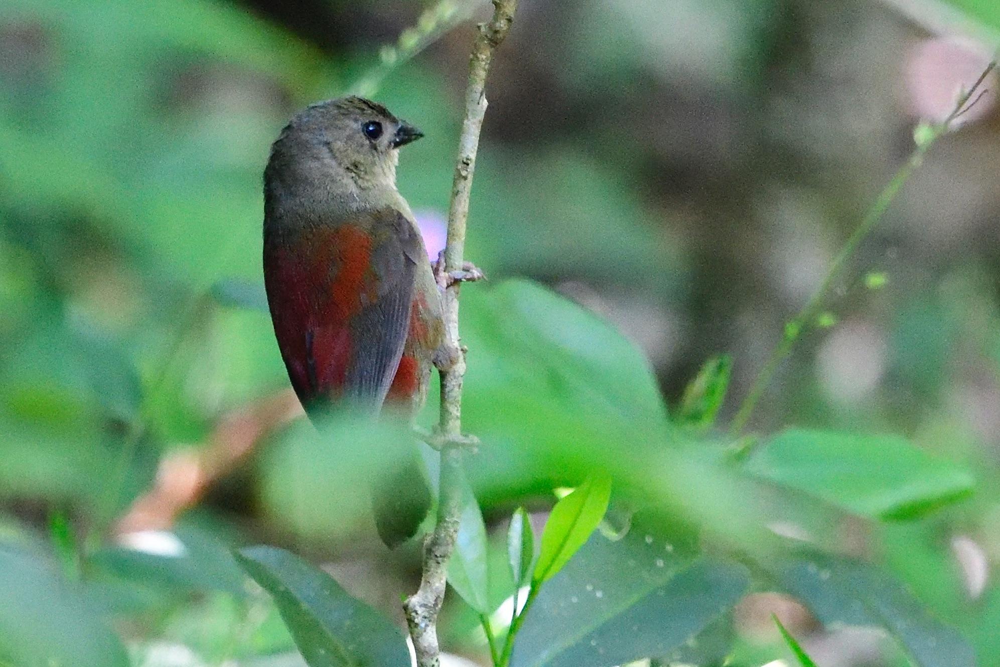 abyssinian crimsonwing