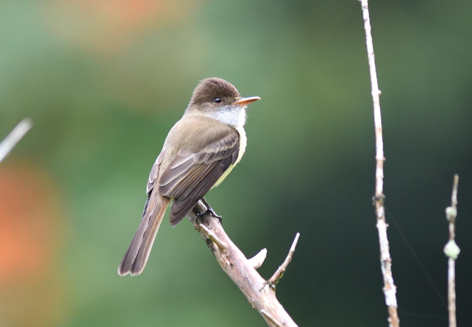 sad flycatcher