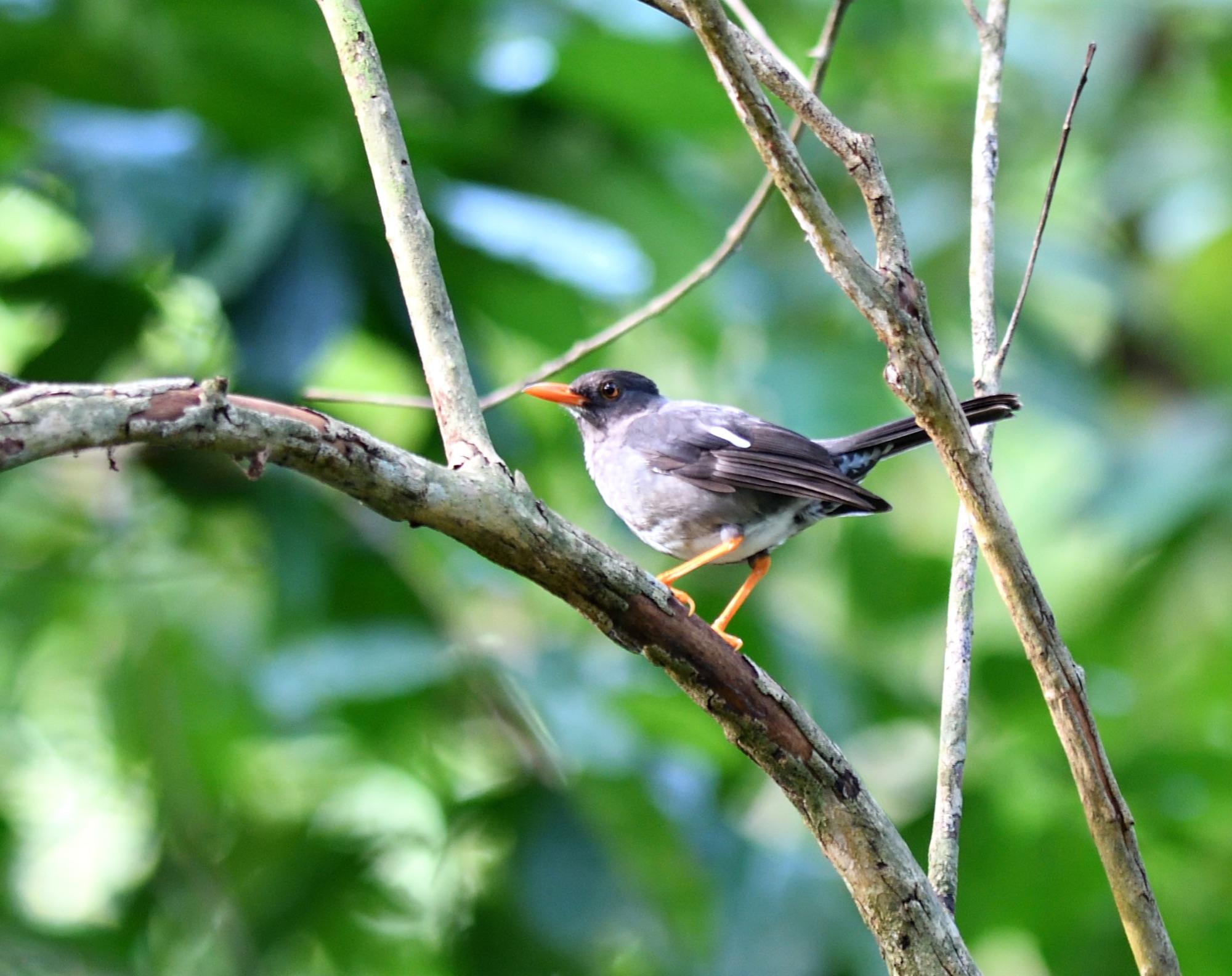 white-chinned thrush