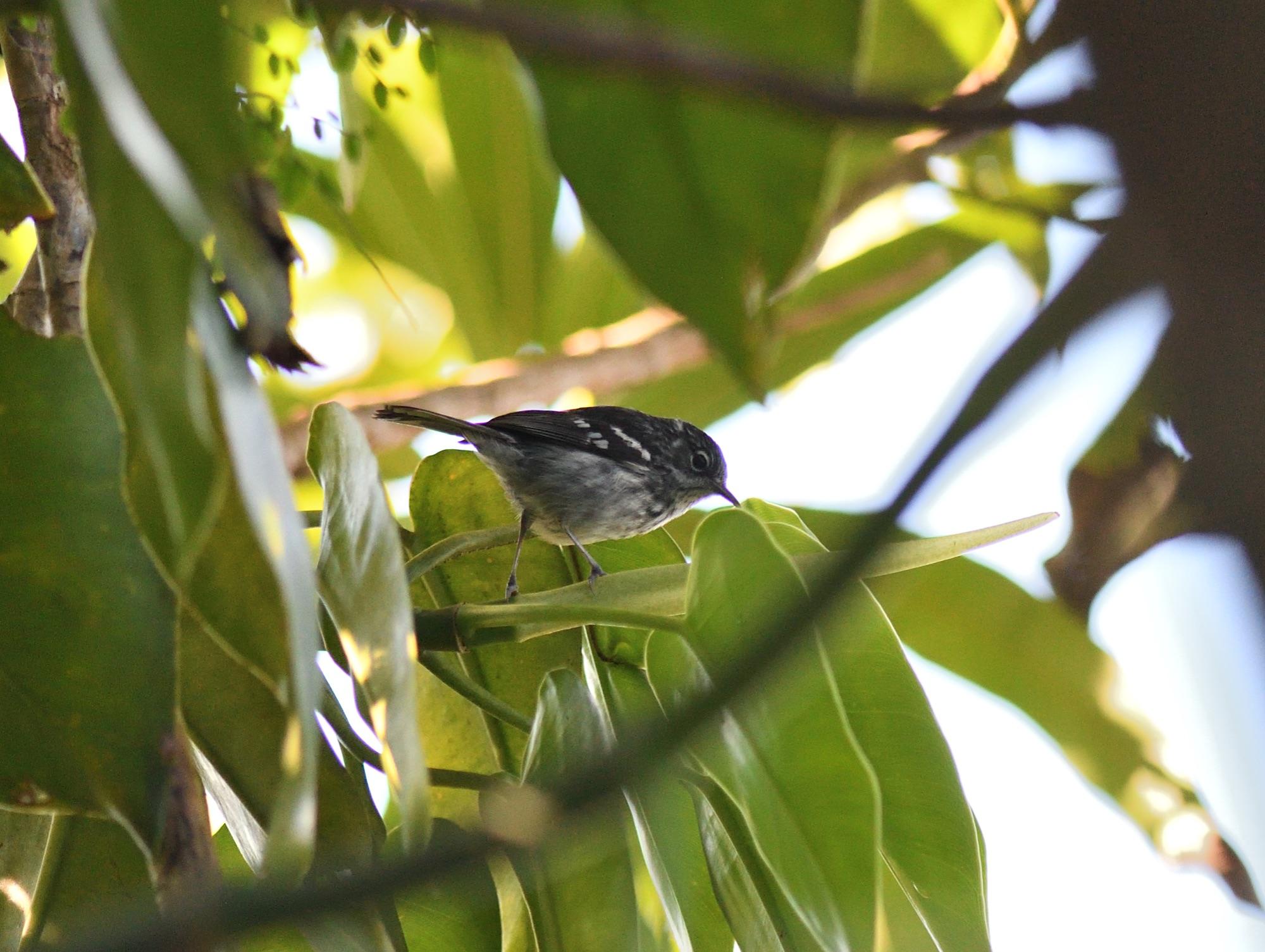 elfin woods warbler