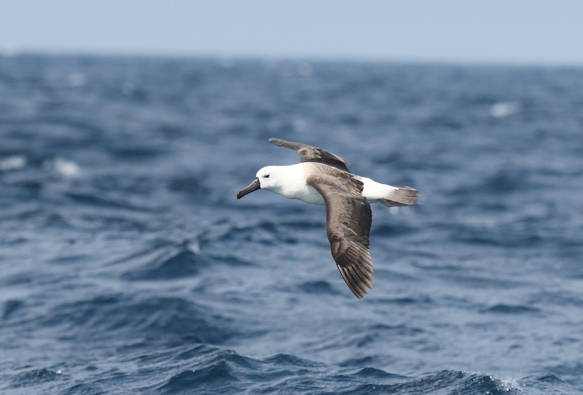 Indian Yellow-nosed Albatross - Kiama Pelagic, Australia 2017_00056