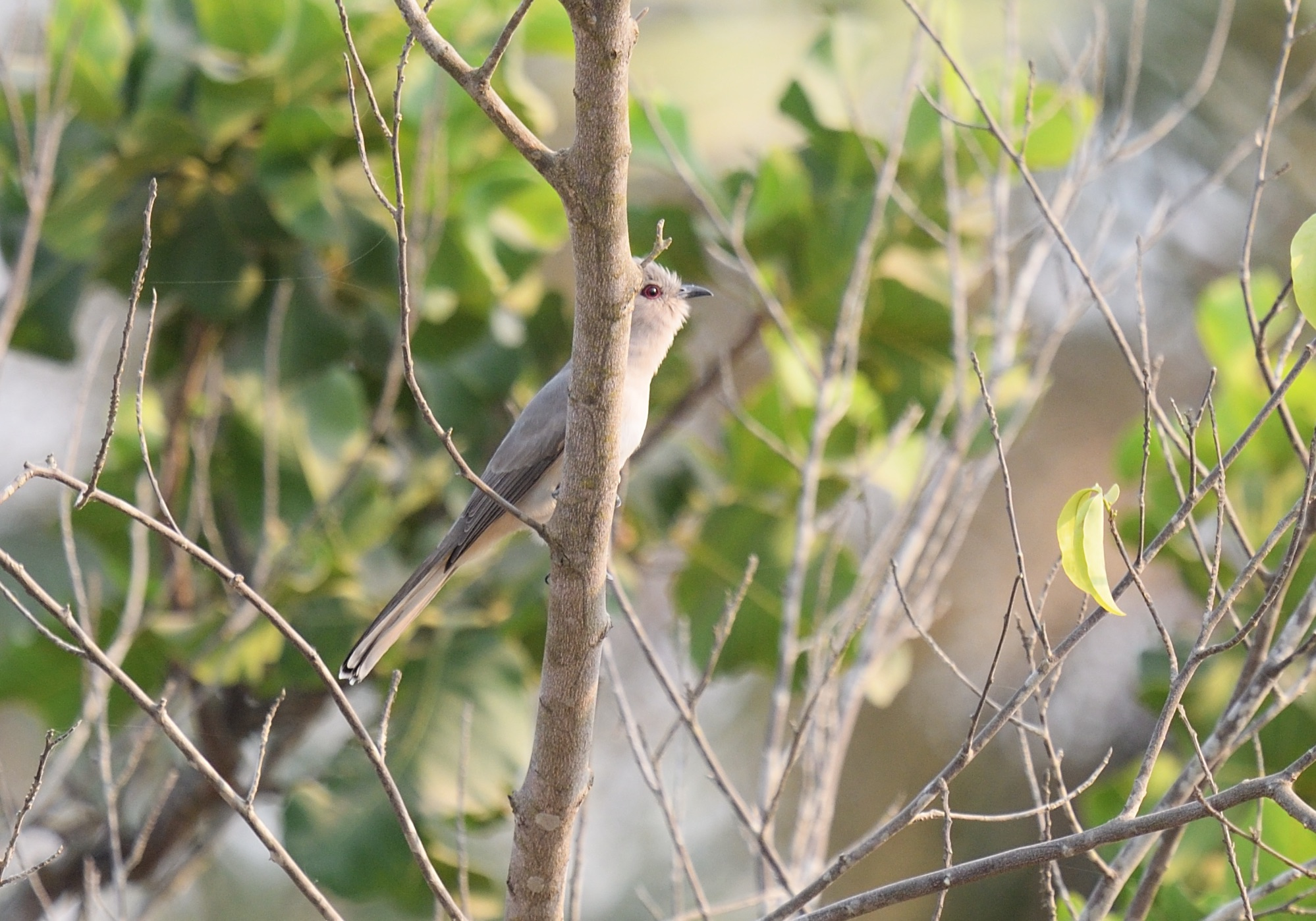 Ash-coloured Cuckoo
