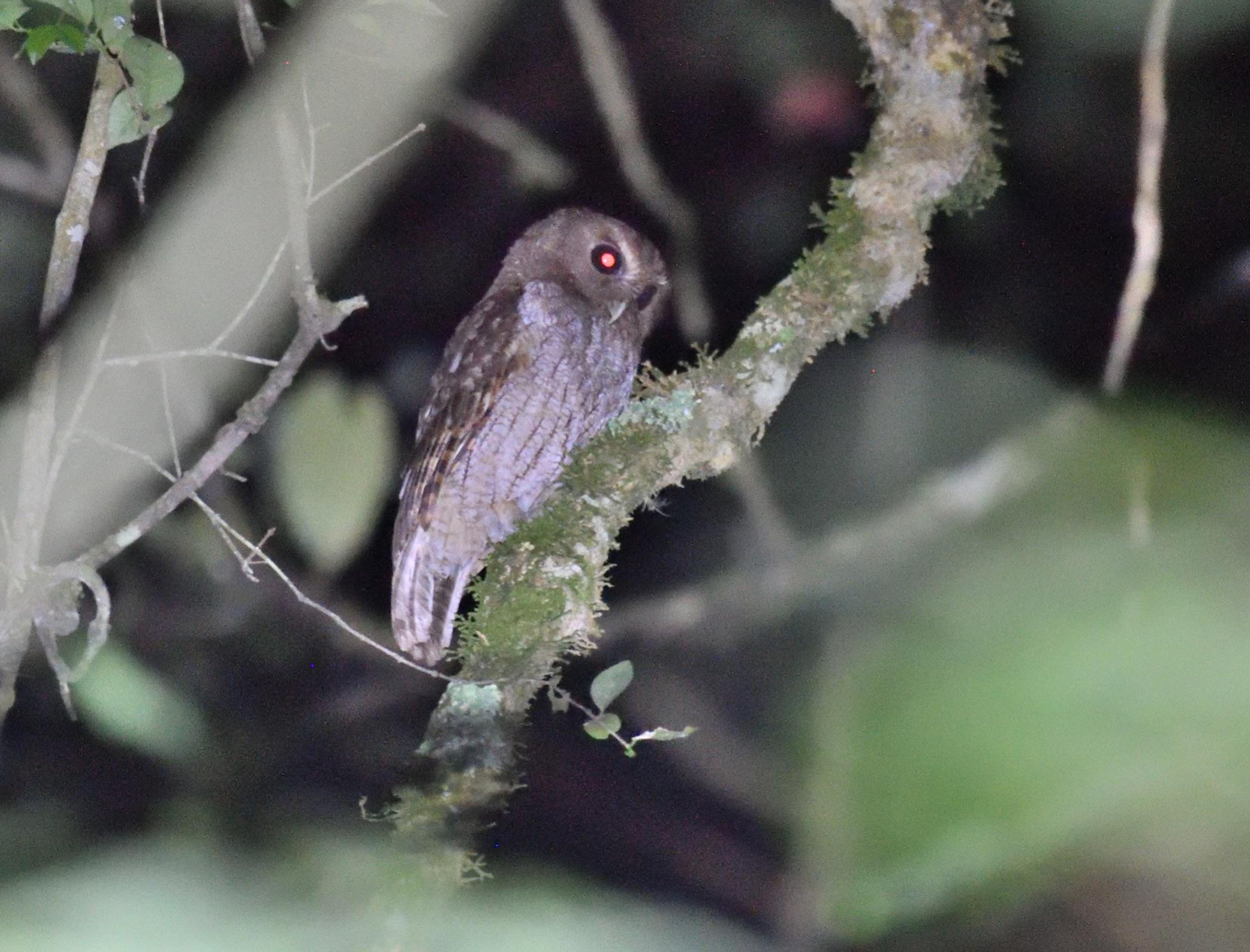 Rfescent Screech-Owl