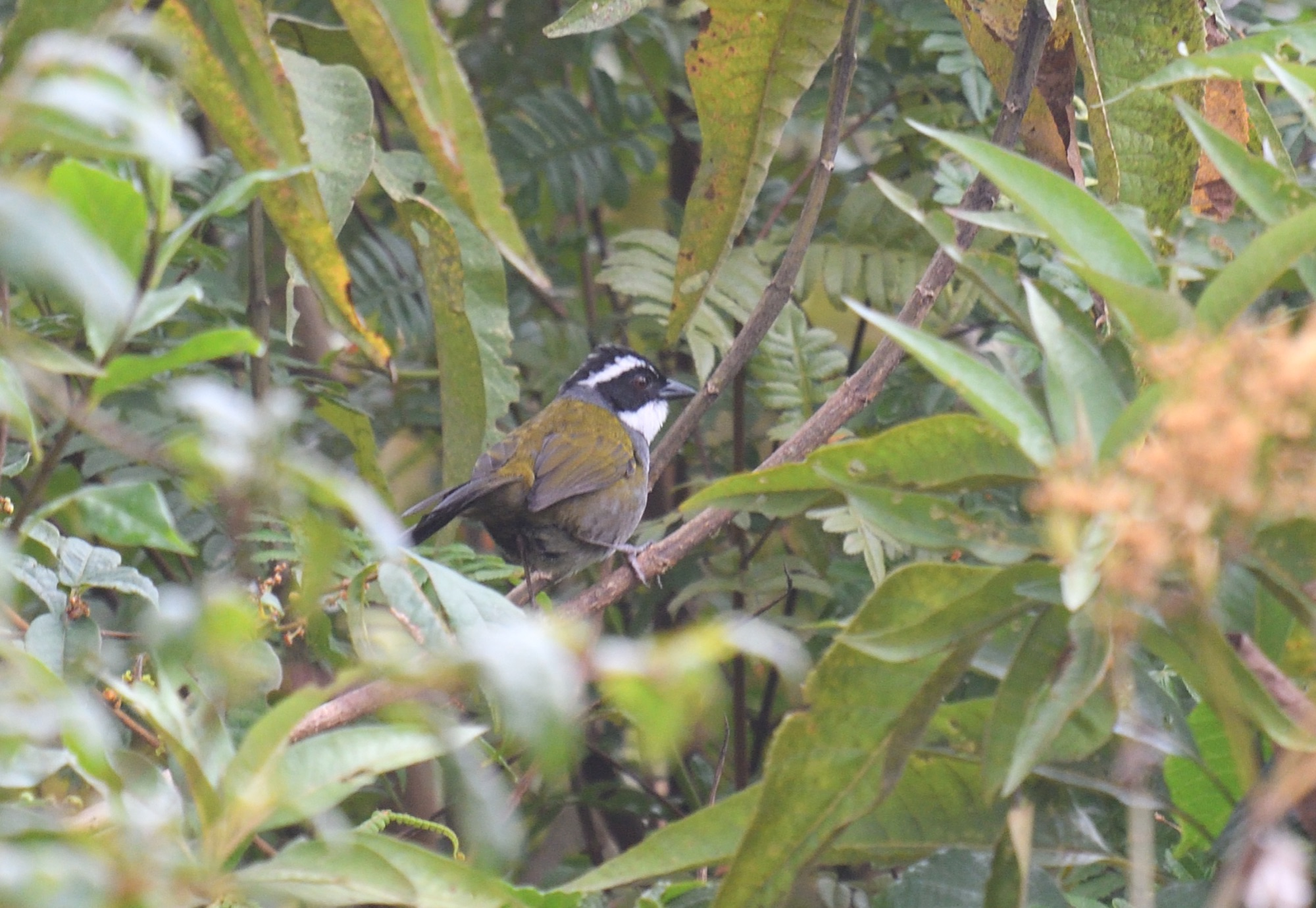 White-browed Brush-Finch