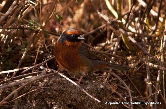 rufous-browed warbling-finch