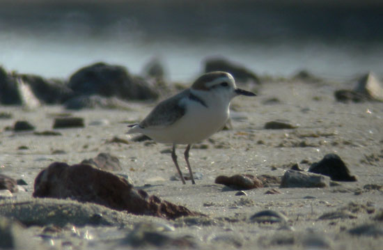 White-faced-Plover-1