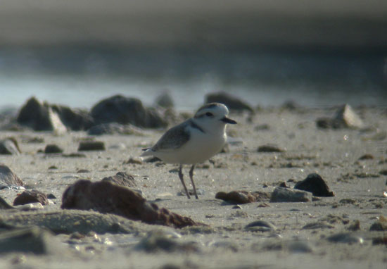White-faced-Plover-2