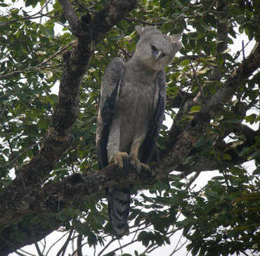 Harpy Eagle by Nick Bray