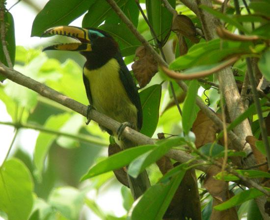 Lettered-Aracari