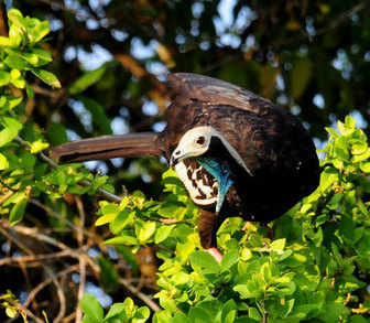 Blue-throated-Piping-guan