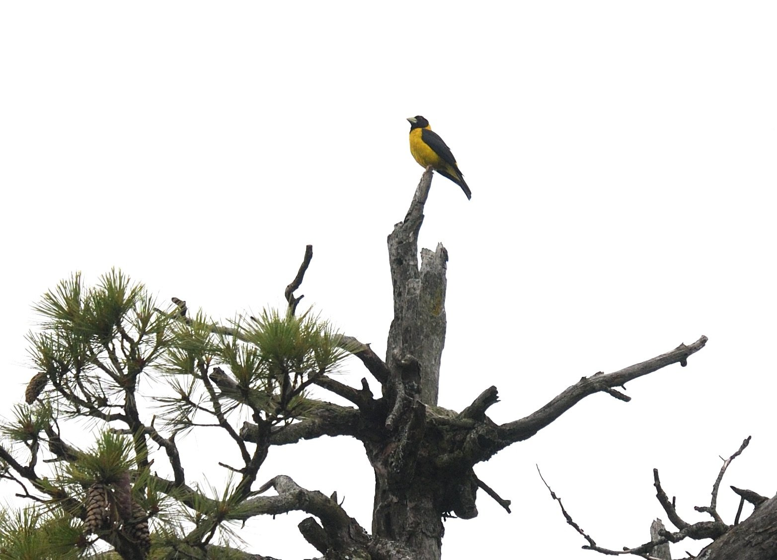 Black-and-yellow Grosbeak