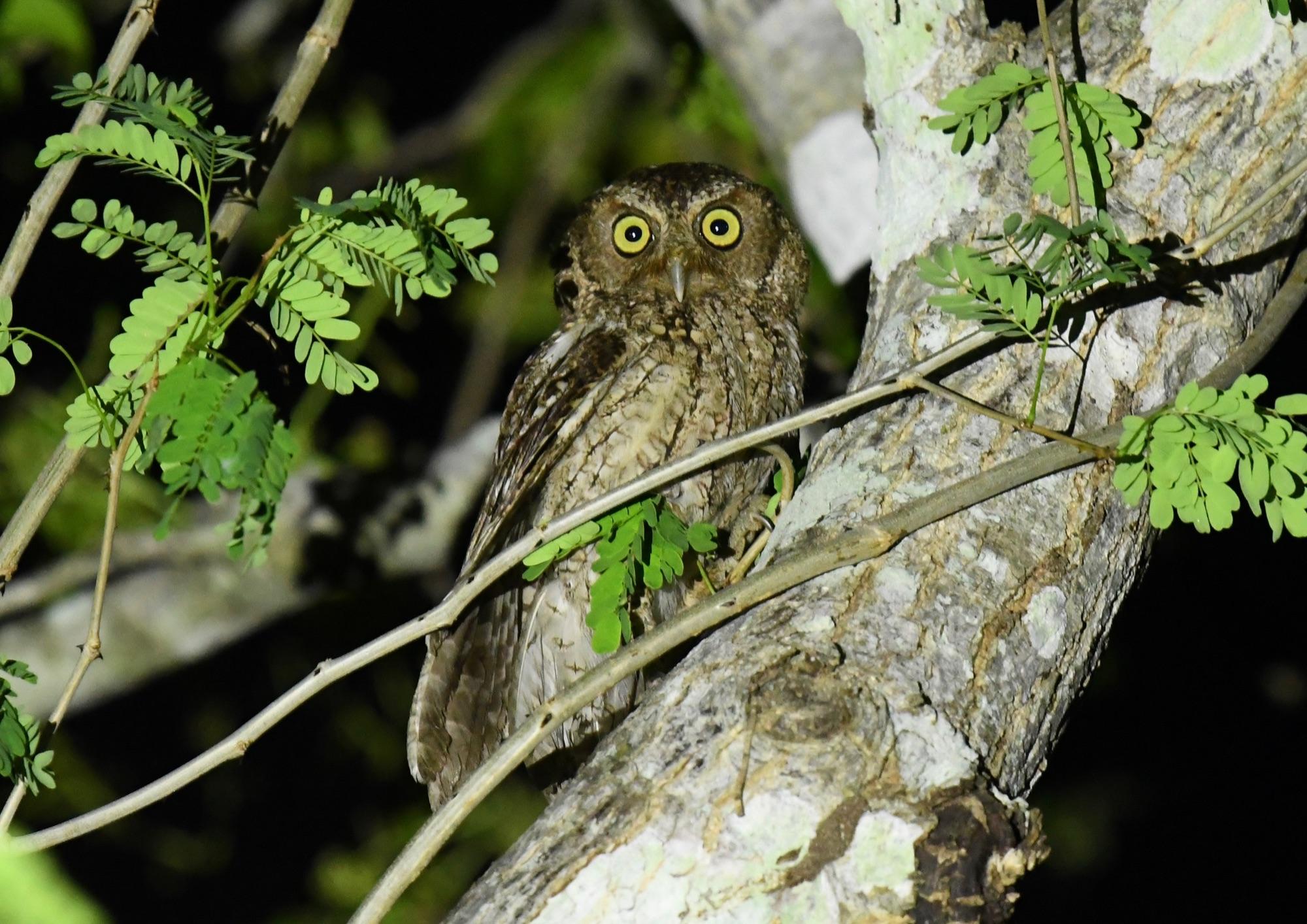 Middle American Screech Owl