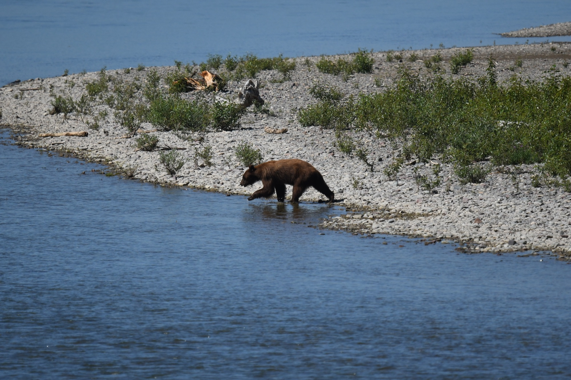 American Black Bear - Glacier NP