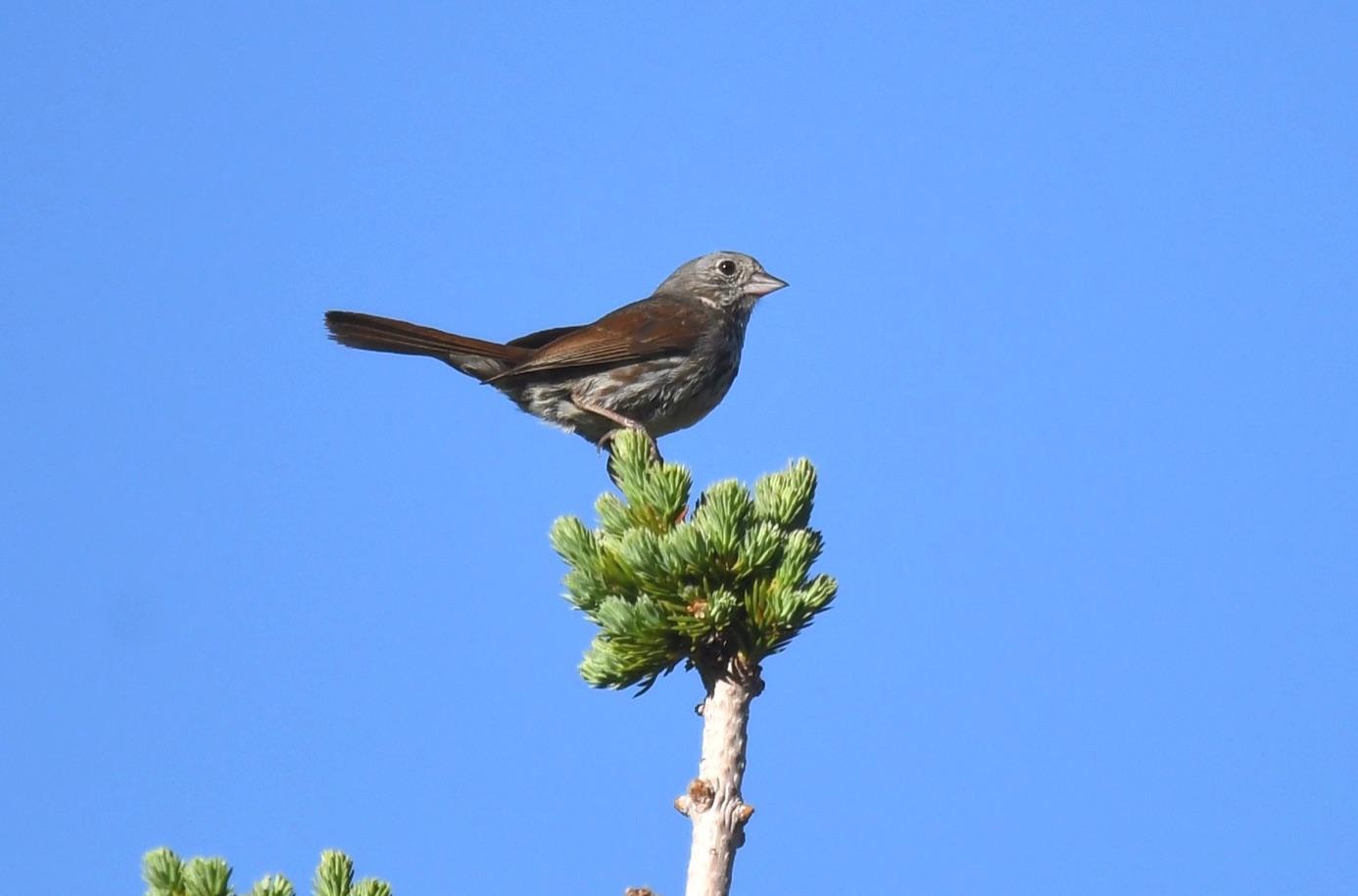 Slate-coloured Fox Sparrow