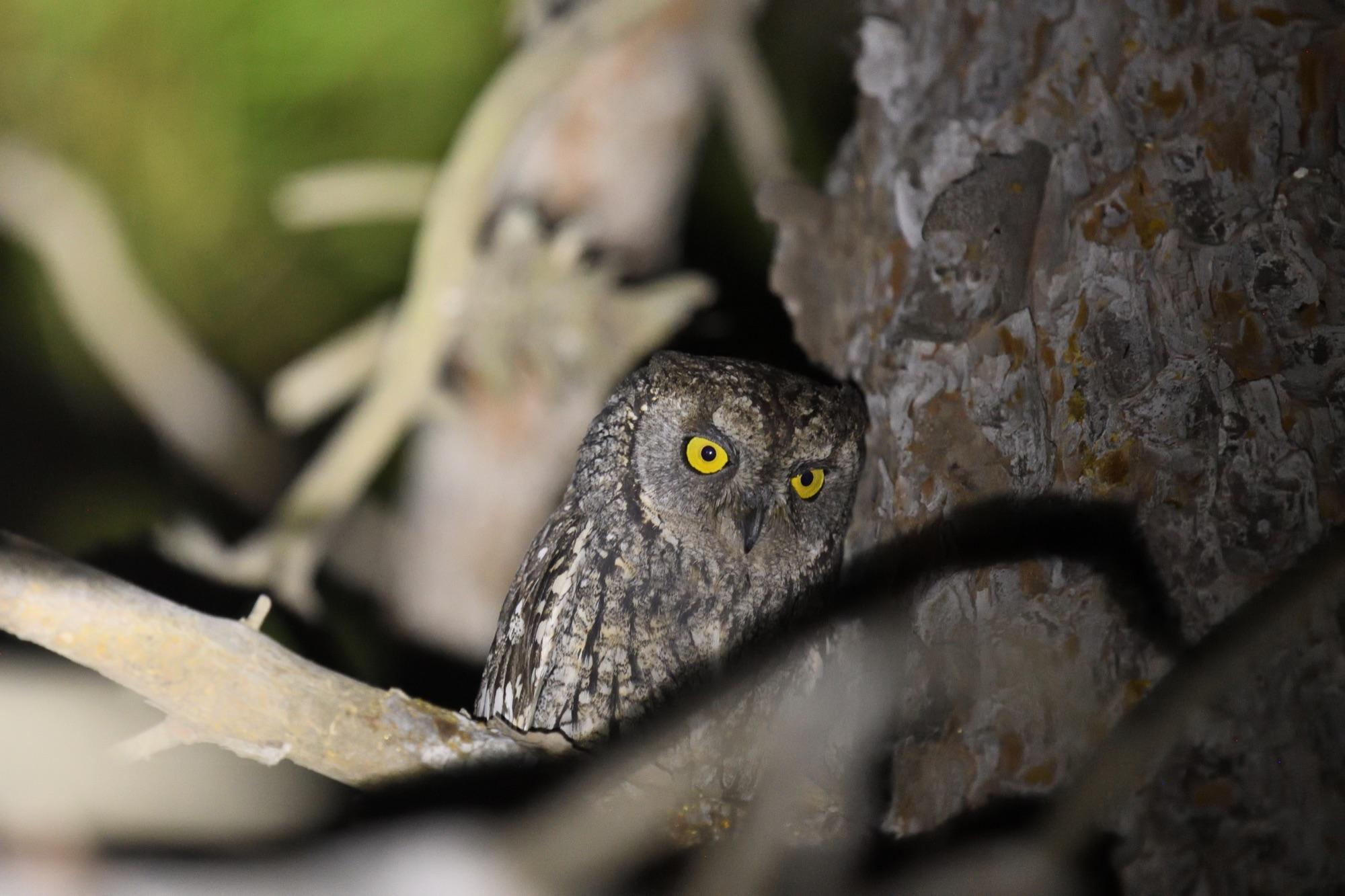 Cyprus Scops Owl