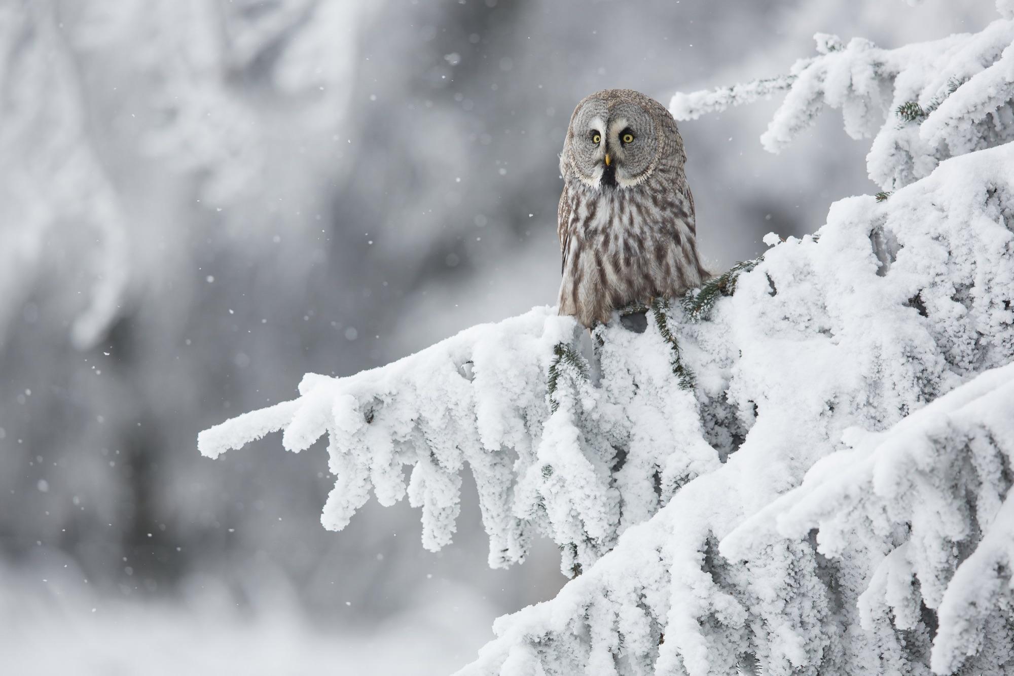 greatr grey owl
