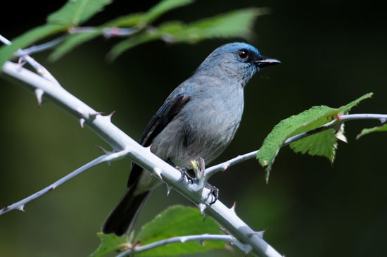 Dusky-blue-Flycatcher