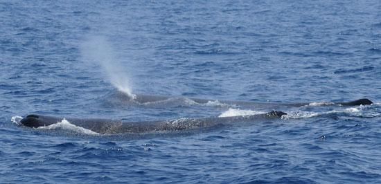 Sperm-Whale-3