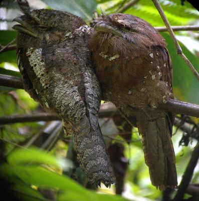 Sri-Lanka-Frogmouths