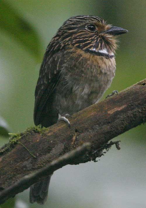 Crecent-chested-Puffbird3