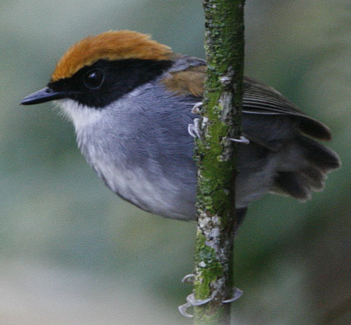 Black-cheeked-Gnateater