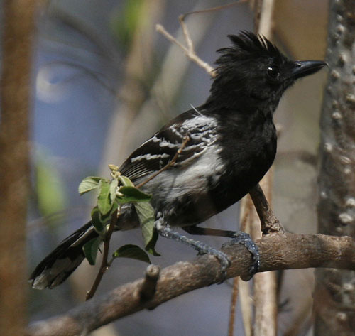 Black-backed-Antshrike